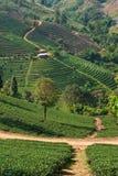 Jardín de té en mountatin en el norte de Tailandia Imagenes de archivo