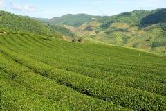 Jardín de té verde en la colina imágenes de archivo libres de regalías