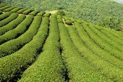 Jardín de té verde en la colina Foto de archivo libre de regalías