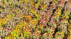 Jardín de Tagetes en estación de primavera Imágenes de archivo libres de regalías