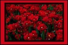 Jardín de tulipanes Imágenes de archivo libres de regalías