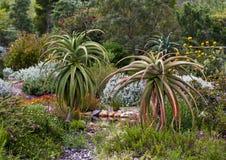 Jardín del áloe Fotografía de archivo libre de regalías