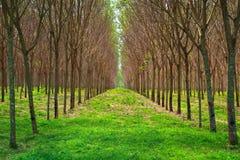 Jardín del árbol de goma de Para en el sur de Tailandia Fotos de archivo