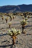Jardín del cactus de Cholla, Joshua Tree National Park Imagen de archivo libre de regalías