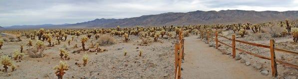 Jardín del cactus de Cholla - panorama Imágenes de archivo libres de regalías