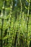 Jardín del campo del bosque del verde del campo de la planta de la cola de caballo fotos de archivo libres de regalías