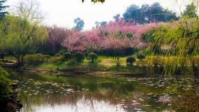 Jardín del ciruelo Imagen de archivo libre de regalías