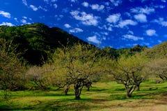 Jardín del ciruelo Foto de archivo