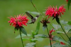 Jardín del colibrí Foto de archivo libre de regalías