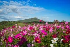 Jardín del cosmos de la flor fotos de archivo