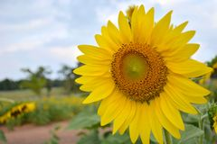 Jardín del girasol Fotos de archivo libres de regalías