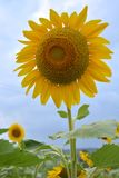 Jardín del girasol Imagen de archivo libre de regalías