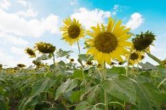 Jardín del girasol con el cielo azul en fondo Fotografía de archivo libre de regalías