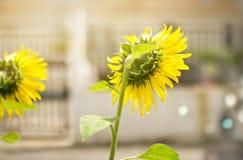 Jardín del girasol en la luz del sol en fondo de la ciudad Imagen de archivo