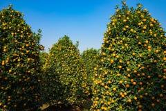 Jardín del kumquat, el símbolo del Año Nuevo lunar vietnamita En casi cada hogar, las compras cruciales para Tet incluyen el melo Imagen de archivo