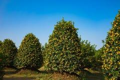 Jardín del kumquat, el símbolo del Año Nuevo lunar vietnamita En casi cada hogar, las compras cruciales para Tet incluyen el melo Fotografía de archivo