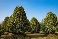 Jardín del kumquat, el símbolo del Año Nuevo lunar vietnamita En casi cada hogar, las compras cruciales para Tet incluyen el melo Fotos de archivo