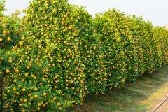Jardín del kumquat, el símbolo del Año Nuevo lunar vietnamita En casi cada hogar, las compras cruciales para Tet incluyen el melo Imágenes de archivo libres de regalías