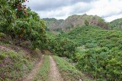 Jardín del lichi con las frutas frescas maduras que cuelgan abajo Foto de archivo libre de regalías