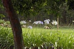 Jardín del lirio africano con los árboles en el fondo Imágenes de archivo libres de regalías