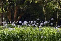 Jardín del lirio africano iluminado por el sol del verano Foto de archivo libre de regalías