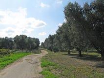 Jardín del olivo en Puglia Foto de archivo