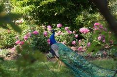 Jardín del paraíso con el pavo real Foto de archivo libre de regalías