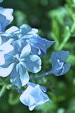 Jardín del patio trasero de las flores blancas de la lila Fotos de archivo