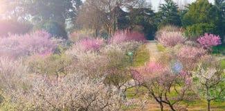 Jardín del plumblossom de Donghu en primavera Fotos de archivo