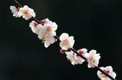 Jardín del plumblossom de Donghu en primavera Fotografía de archivo