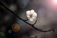 Jardín del plumblossom de Donghu en primavera Imagenes de archivo