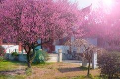 Jardín del plumblossom de Donghu en primavera Imágenes de archivo libres de regalías