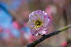 Jardín del plumblossom de Donghu en primavera Imagen de archivo