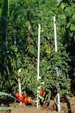 Jardín del tomate Fotos de archivo libres de regalías