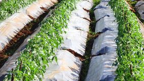 Jardín del tomate, provincia de Lam Dong, Vietnam almacen de metraje de vídeo