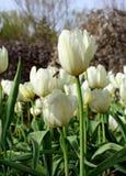 Jardín del tulipán Foto de archivo