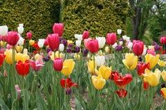 Jardín del tulipán Foto de archivo libre de regalías