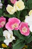 Jardín del tulipán Imagen de archivo libre de regalías