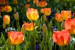 Jardín del tulipán del resorte Foto de archivo