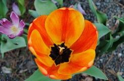Jardín del tulipán del tiempo de primavera Fotografía de archivo libre de regalías