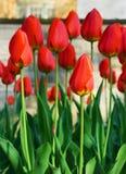 Jardín del tulipán en resorte imagen de archivo libre de regalías