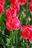 Jardín del tulipán en Showa Kinen KoenShowa Memorial Park, Tachikawa, Tokio, Japón en primavera Foto de archivo libre de regalías