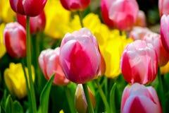 Jardín del tulipán en Showa Kinen KoenShowa Memorial Park, Tachikawa, Tokio, Japón en primavera Imagen de archivo libre de regalías