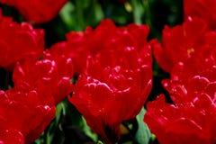 Jardín del tulipán en Showa Kinen KoenShowa Memorial Park, Tachikawa, Tokio, Japón en primavera Fotos de archivo libres de regalías