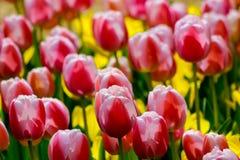 Jardín del tulipán en Showa Kinen KoenShowa Memorial Park, Tachikawa, Tokio, Japón en primavera Foto de archivo