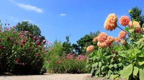 Jardín del verano con la dalia de la floración Fotografía de archivo