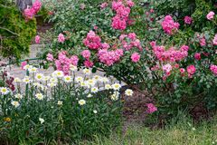 Jardín del verano con las rosas rojas y las margaritas blancas Fotos de archivo libres de regalías