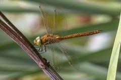 Jardín del zen del restingin de la libélula fotos de archivo