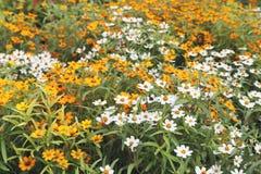 Jardín del zinnia del vintage Foto de archivo libre de regalías