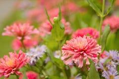 Jardín del zinnia rosado hermoso Imagen de archivo libre de regalías